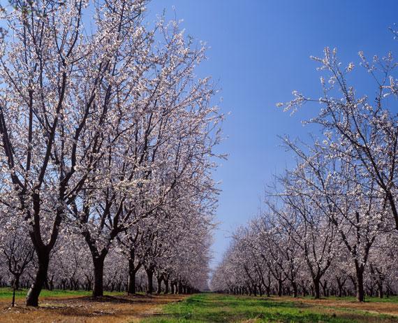 gesund Mandelblüte